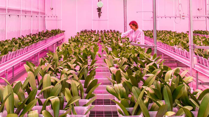 Módulos LED Philips GreenPower sobre las orquídeas en Ter Laak Orchids